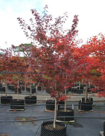 Acer-palmatum-Atropurpurem-AP60cm