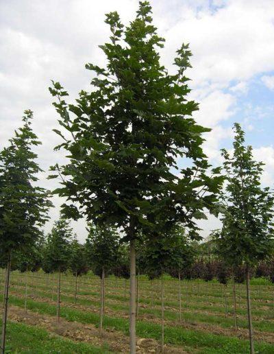 acer-platanoides-emerald-queen-albero