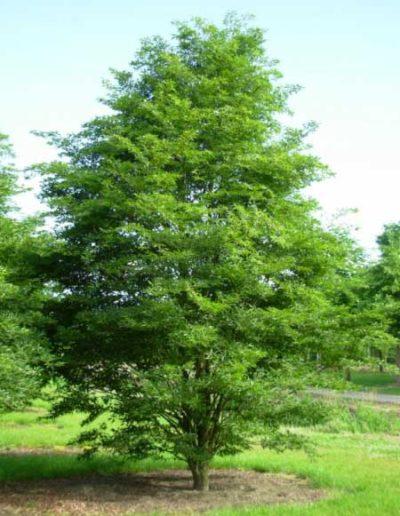 fagus-sylvatica-aspleniifolia-betakt